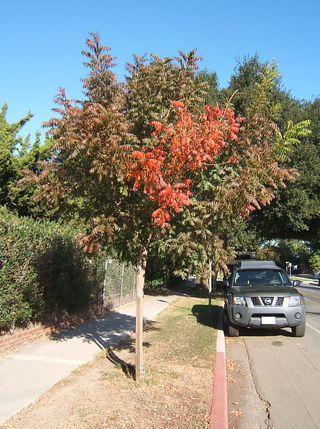 Fall tree girard